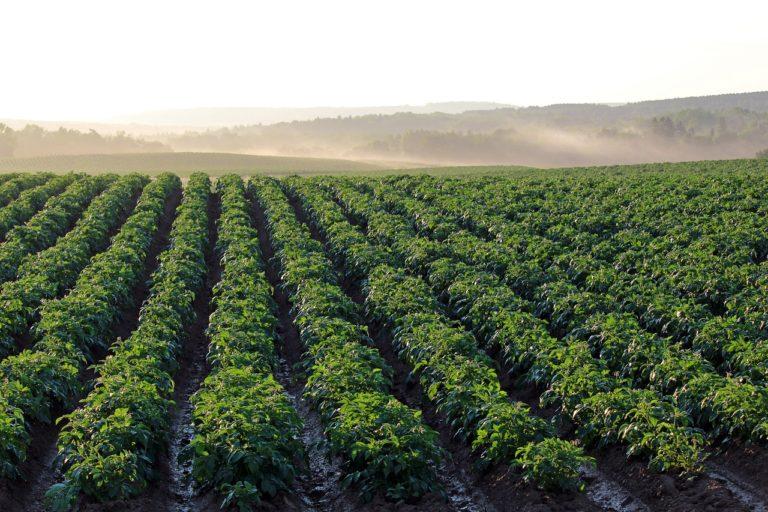 Czy istnieją zabiegi, pozwalające nam na ochronę ziemniaków przed chwastami?